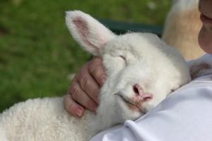 lamb in bosom